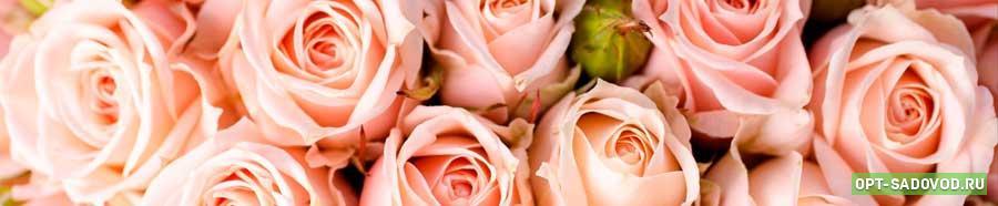 Розы на Садоводе