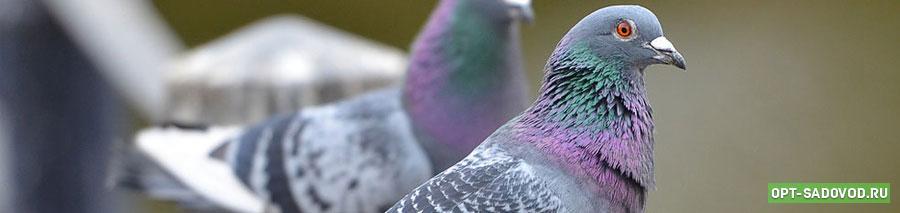 Голуби на Садоводе